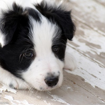 Border Collie Puppy Hd Wallpaper for Desktop and Mobiles Instagram