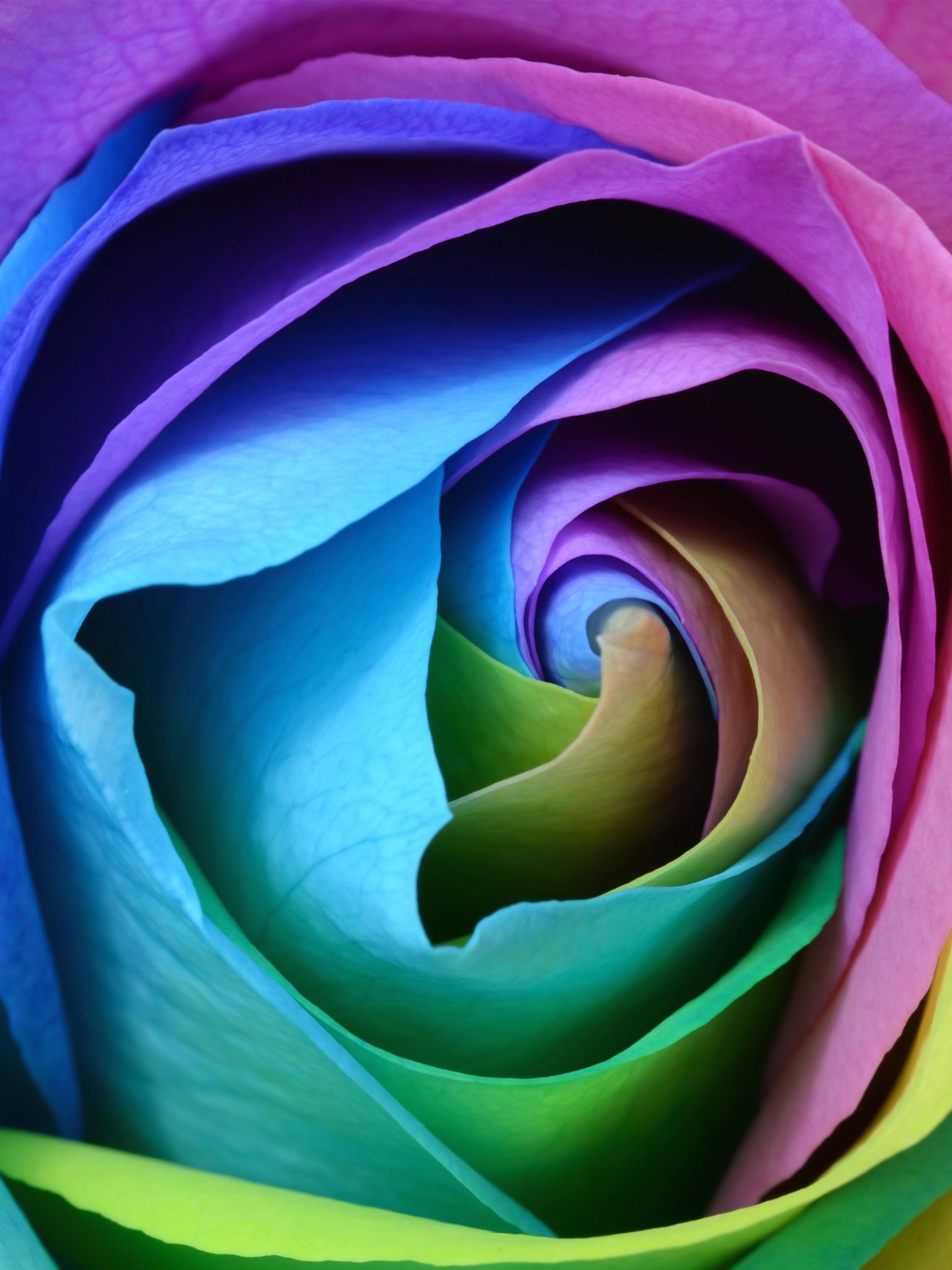 Download Free HD Beautiful Rose Flower Wallpaper Retina iPad