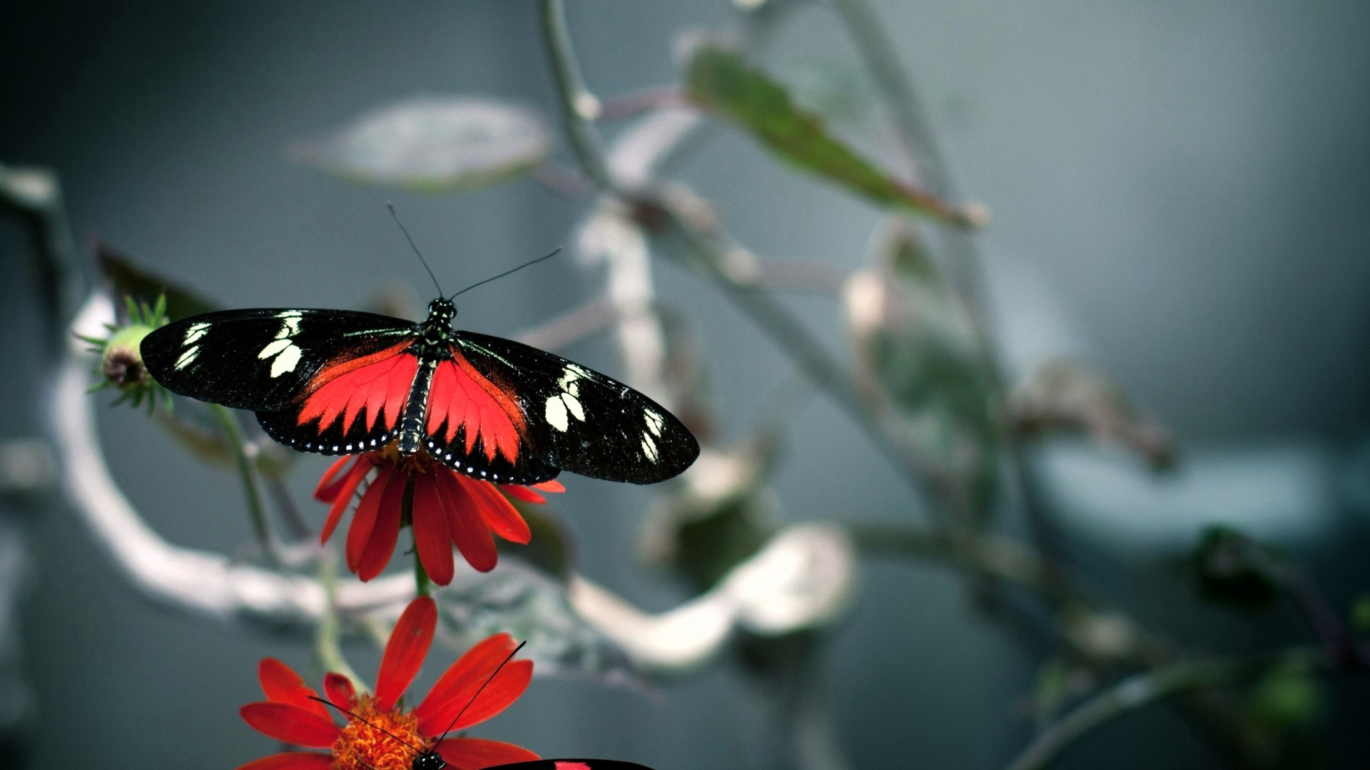 Download Free Red And Black Beautiful High Quality Butterfly