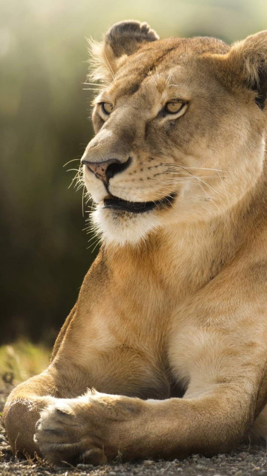 Free Download African Lion Wallpaper In Hd Iphone 6 6s