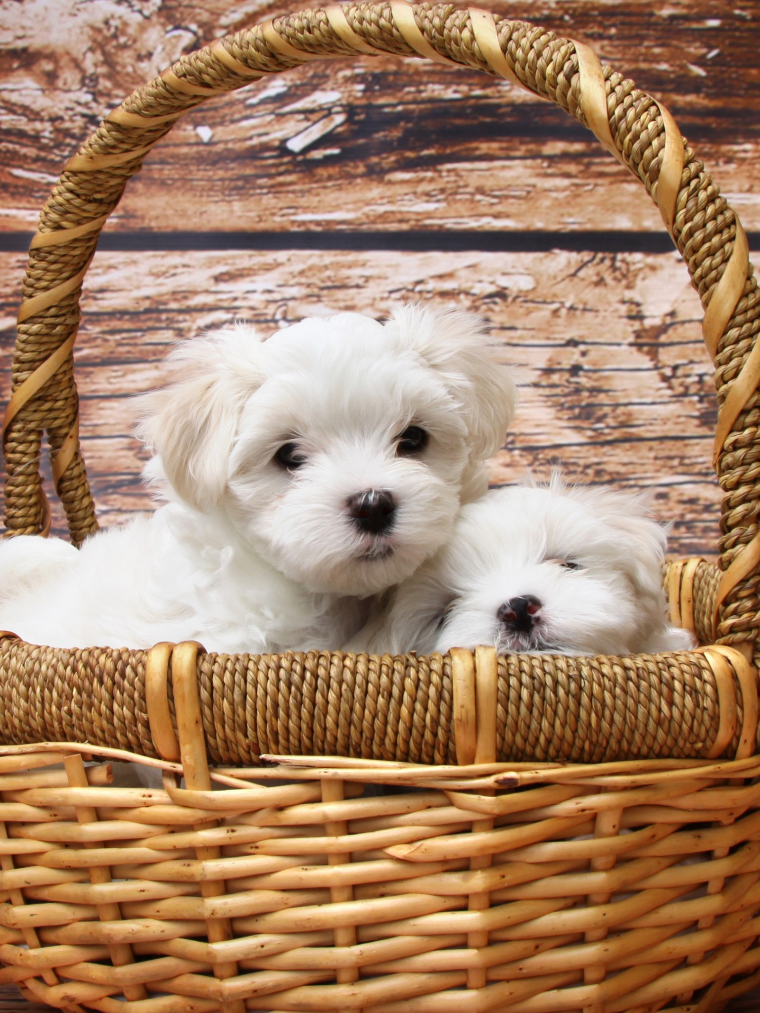 Maltese Cute Dog Puppy Wallpapers For Desktop And Mobiles Retina Ipad Hd Wallpaper Wallpapers Net