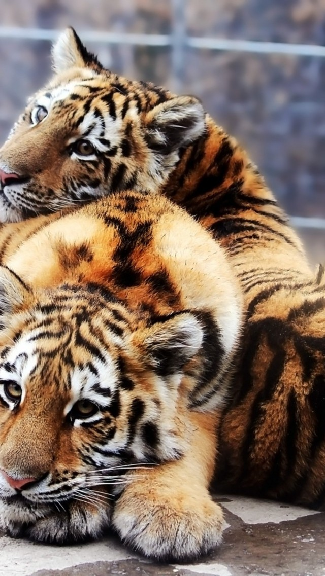 Tiger and baby tiger HD Wallpaper iPhone 5 / 5S (& iPod