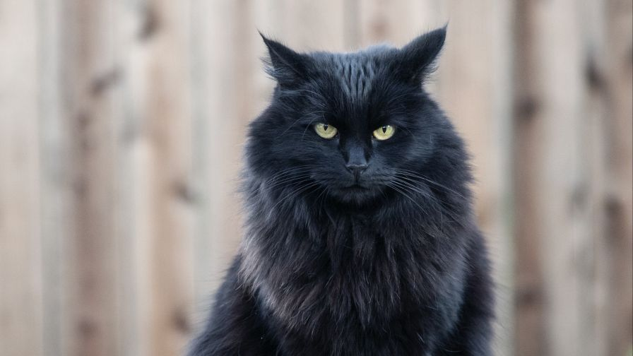 Angry Black Cat Hd Wallpaper Wallpapers Net