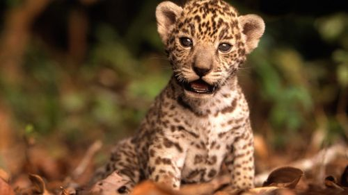 Baby Jaguar HD Wallpaper