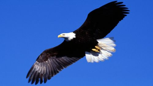 Bald Eagle flies HD Wallpaper