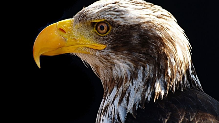Bald Eagle's Portrait HD Wallpaper