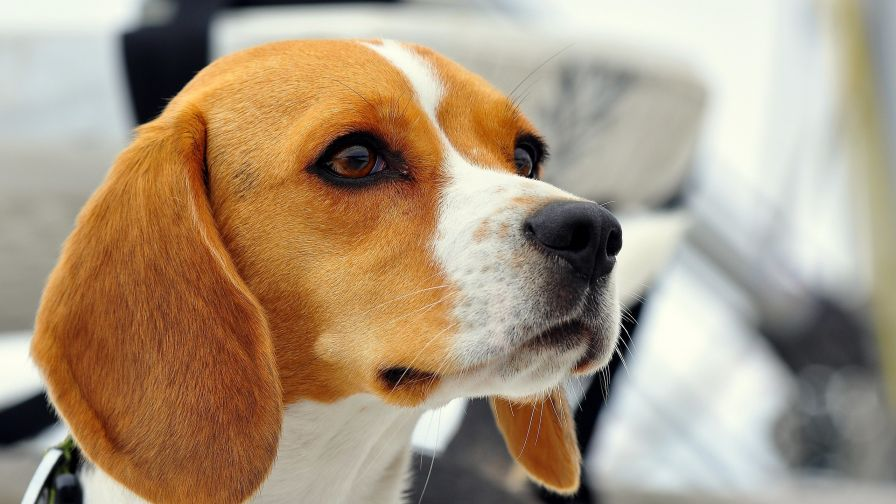 Beagle HD Wallpaper