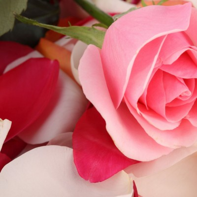 Beautiful Rose Flower Wallpaper for Desktop and Mobiles