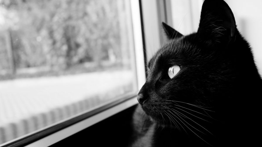 Black cat starring at the window HD Wallpaper
