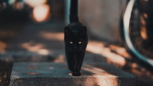 Black cat walking HD Wallpaper
