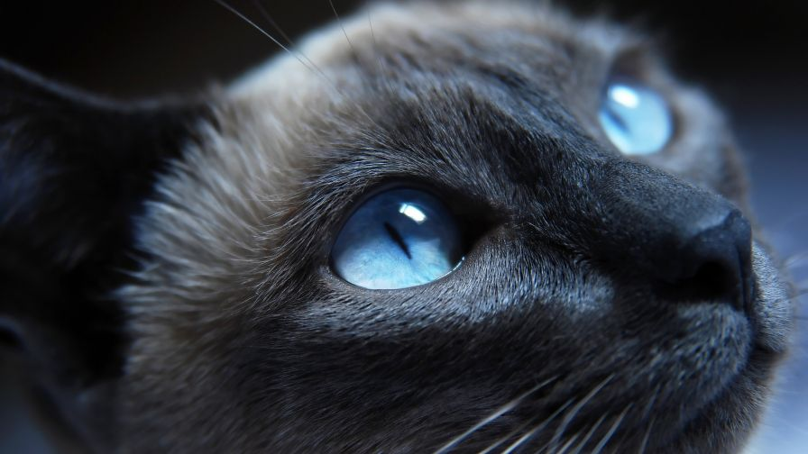 Blue Eyed Cat Wallpaper for Desktop and Mobiles