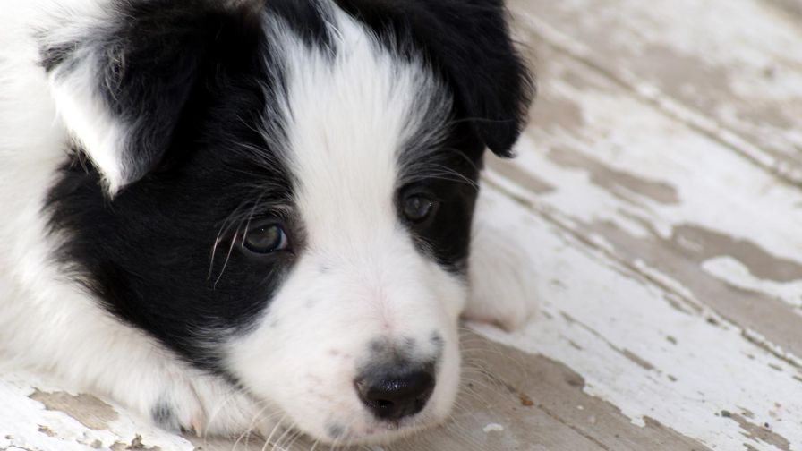 Border Collie Puppy Hd Wallpaper for Desktop and Mobiles