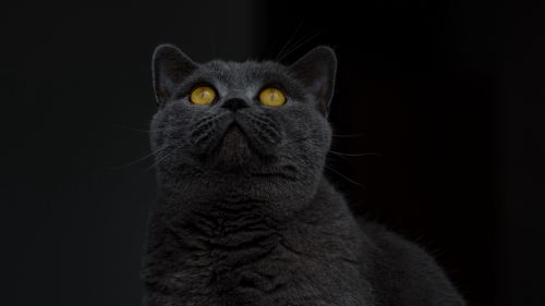 British shorthair cat HD Wallpaper