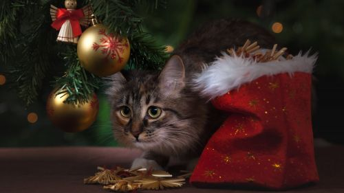 Brown Tabby Cat Beside Christmas Tree HD Wallpaper