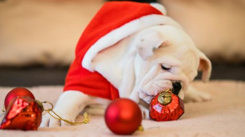 Bull Dog Close-Up Near Ornaments HD Wallpaper