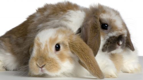 Bunnies white and light brown HD Wallpaper