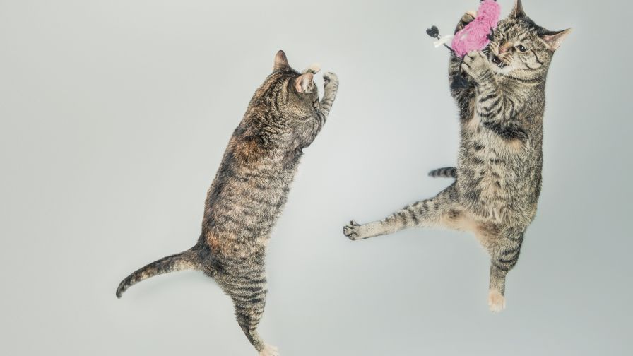 Cats Playing with a Toy Wallpaper for Desktop and Mobiles