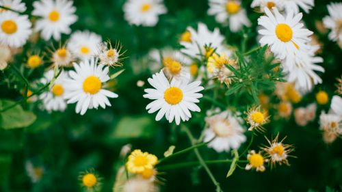 Chamomile field HD Wallpaper