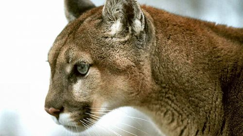 Cougar HD Wallpaper