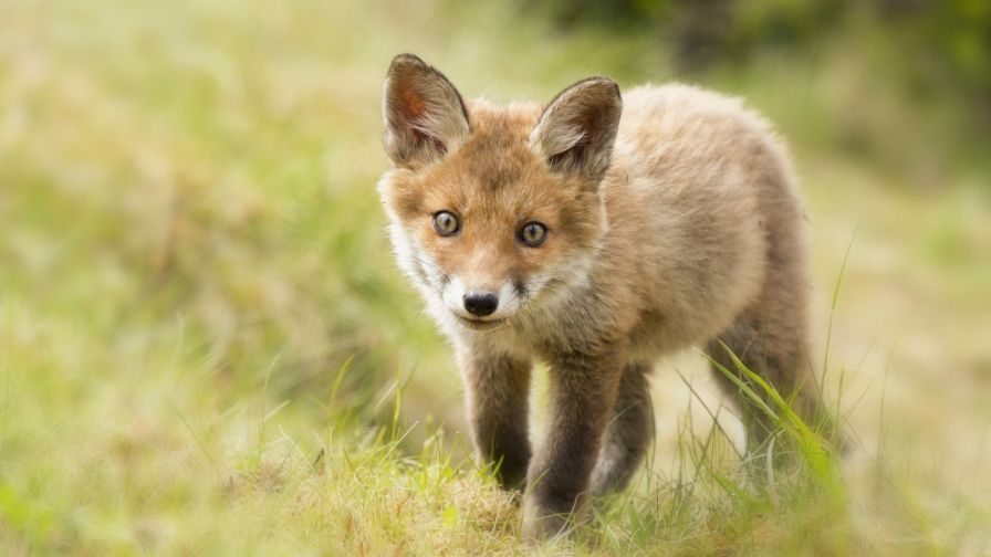 Cute baby fox HD Wallpaper