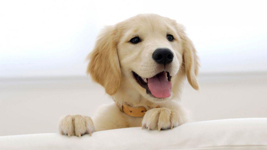 Cute Golden Retriever Puppies Hd Wallpaper For Desktop And