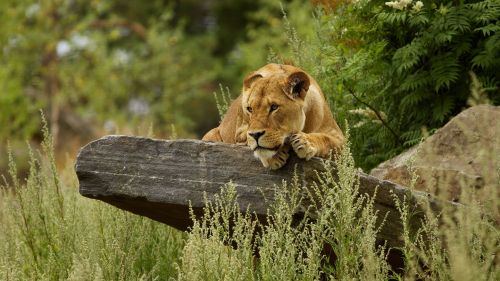 Cute Lion Relaxing HD Wallpaper