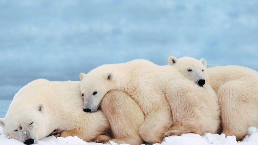 Cute Polar Bear Cub Hd Wallpaper for