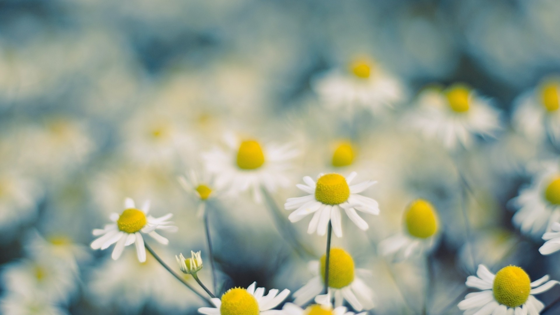 Daisies macro image HD Wallpaper