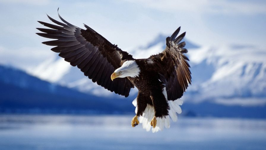 Download Free Flying Eagle Wallpaper for Desktop and Mobiles