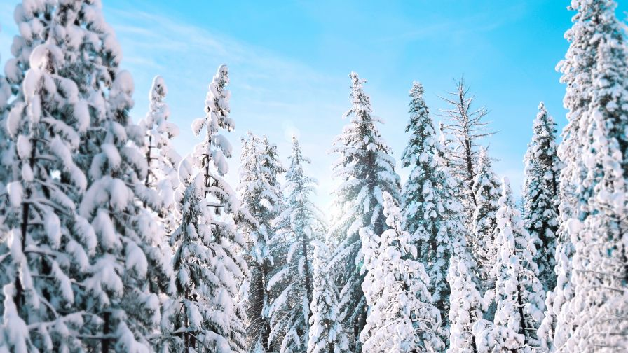 Download Sunny Winter Pine Trees HD wallpaper