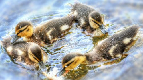 Ducklings Duck HD Wallpaper
