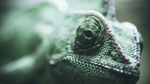 Eyes of chameleon HD Wallpaper