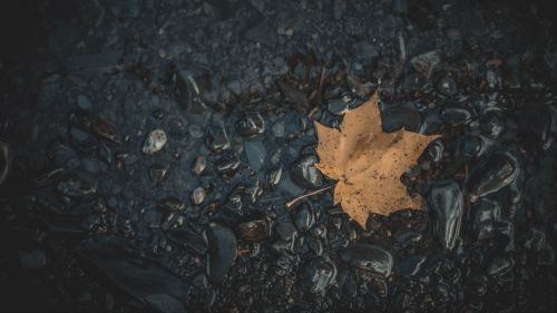 Fallen maple leaf HD Wallpaper