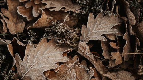 Fallen oak leaves HD Wallpaper