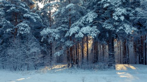 Forest winter landscape HD Wallpaper