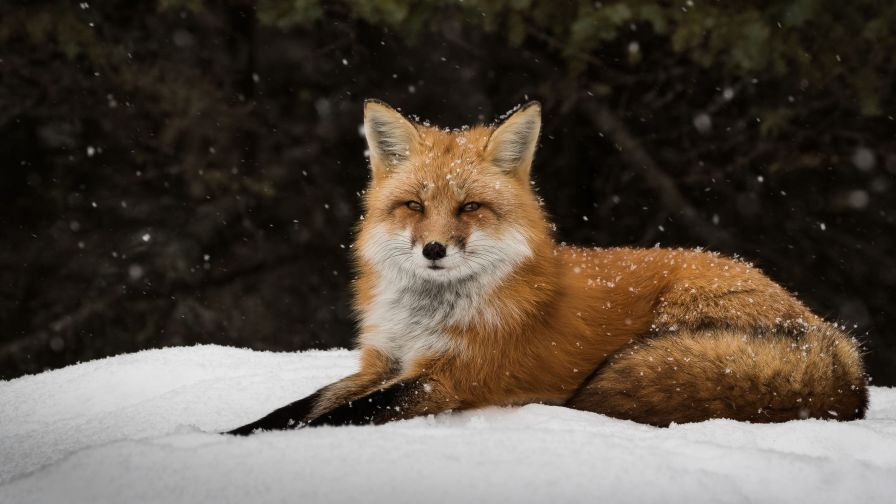 Fox Snow Forest Wallpaper for Desktop and Mobiles