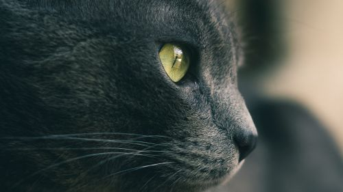Gray cat's face HD Wallpaper