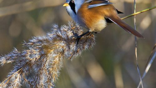 Bearded Tit HD Wallpaper