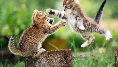 Kittens Playing Fighting Wallpaper for Desktop and Mobiles