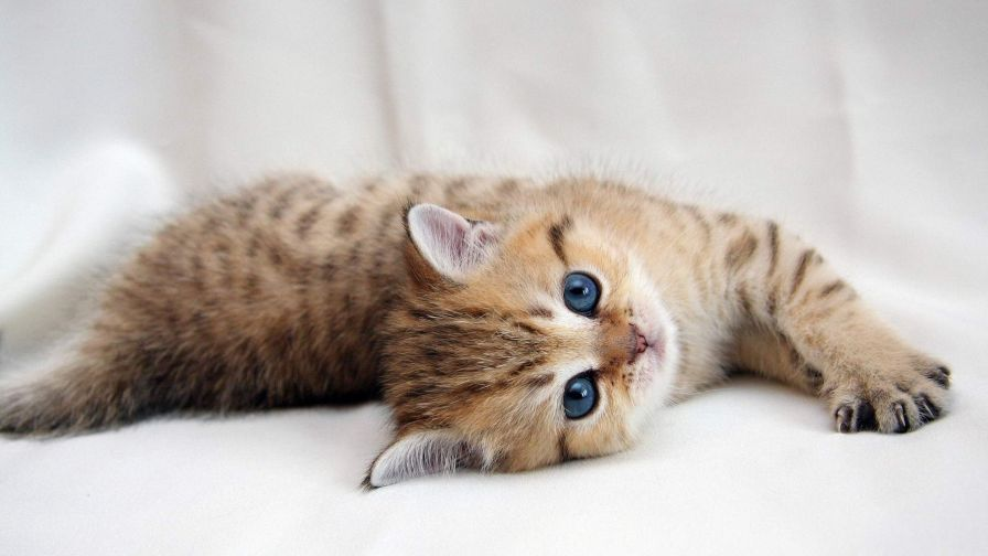 Lazy kitten HD Wallpaper