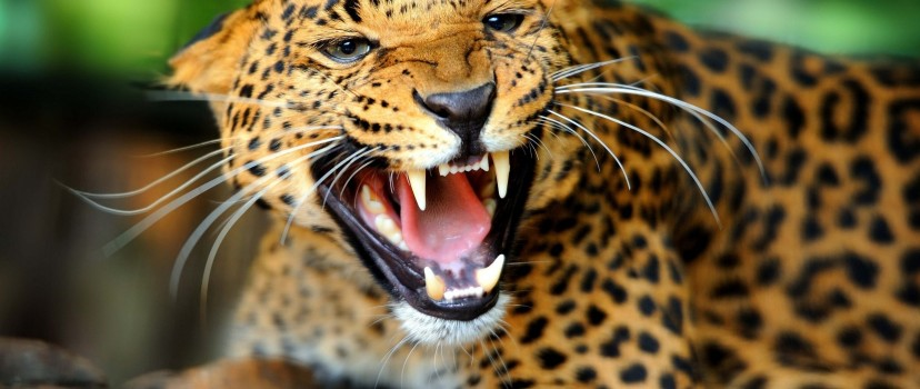 Leopard Showing Teeth Wallpaper for Desktop and Mobiles
