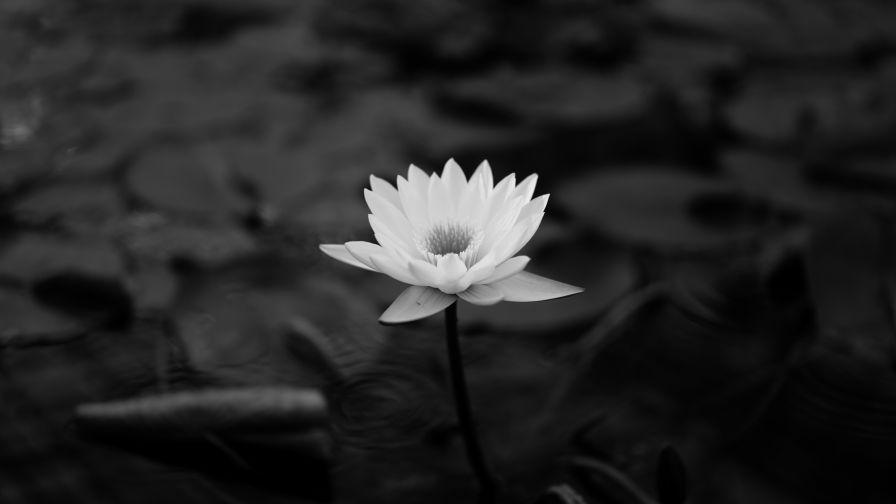 Lotus Flower Hd Wallpaper Wallpapersnet