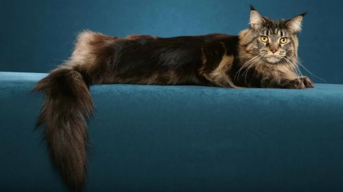 Maine Coon Cat HD Wallpaper