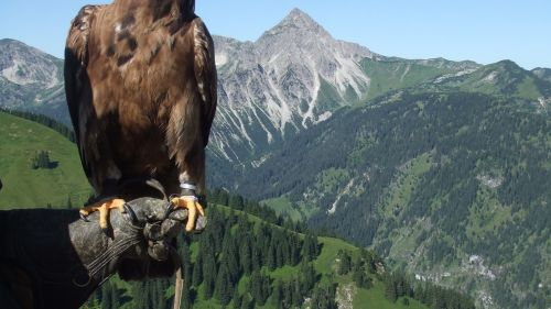 Majestic Golden Eagle HD Wallpaper