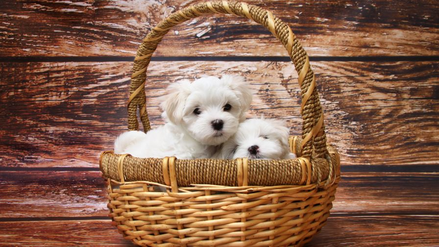 Maltese Cute Dog Puppy Wallpapers for Desktop and Mobiles