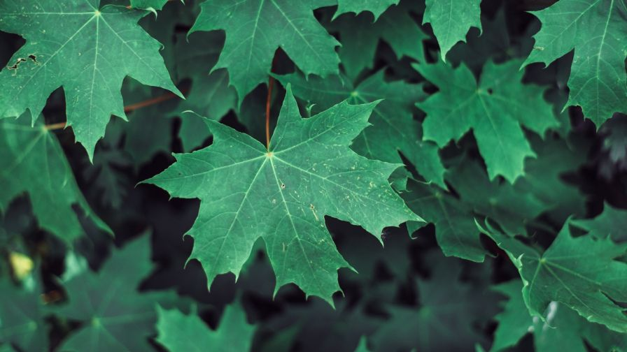 Maple leaves HD Wallpaper