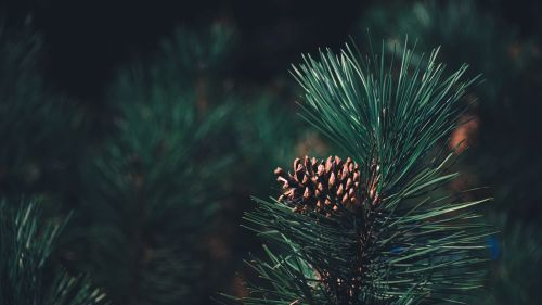 Pine branch HD Wallpaper
