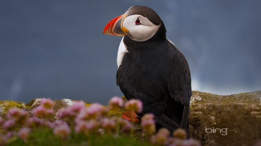 Puffin Seabird HD Wallpaper