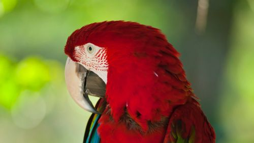 Red colored parrot HD Wallpaper