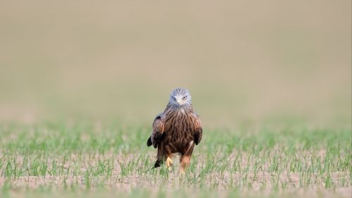 Red kite staring HD Wallpaper